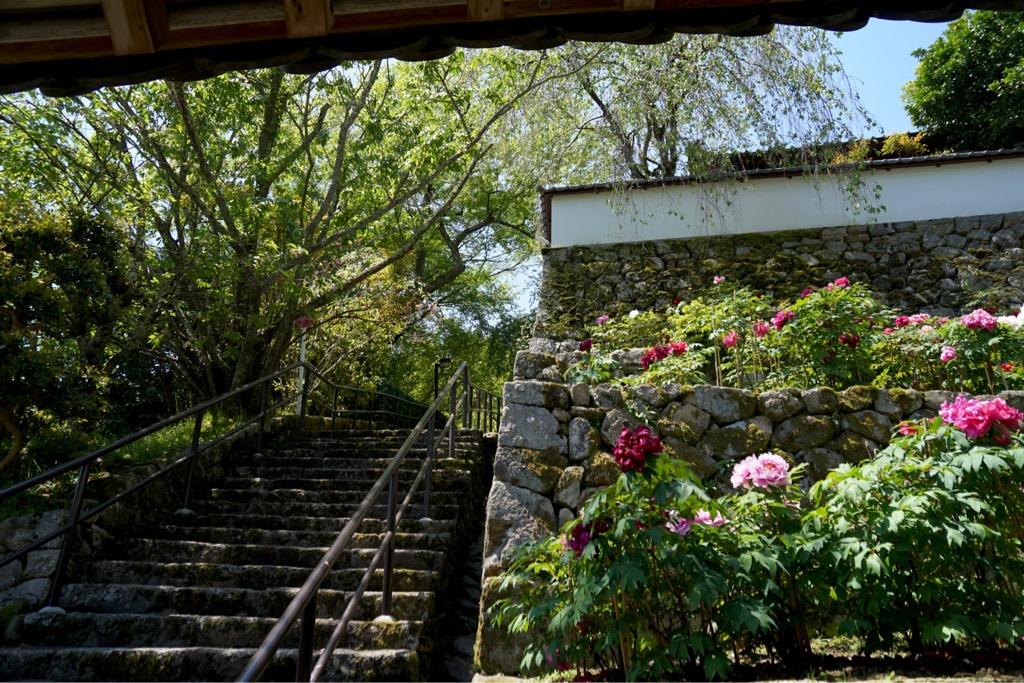 境内にはたくさんのボタンの花が咲いていて華やかです。