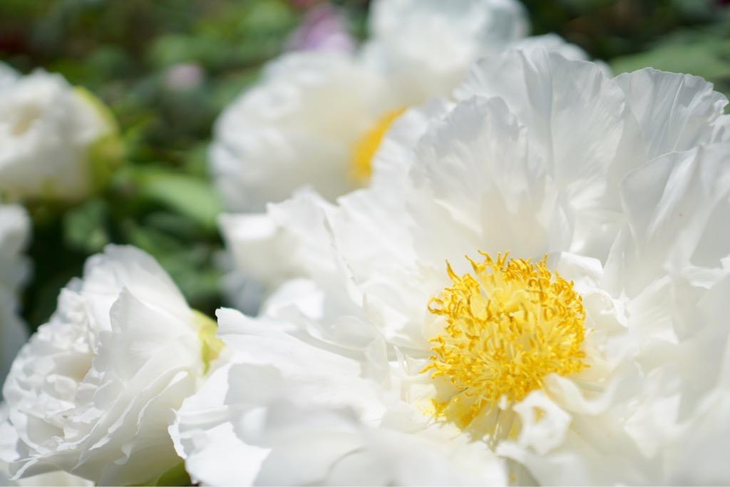 白い牡丹は清楚で綺麗です。