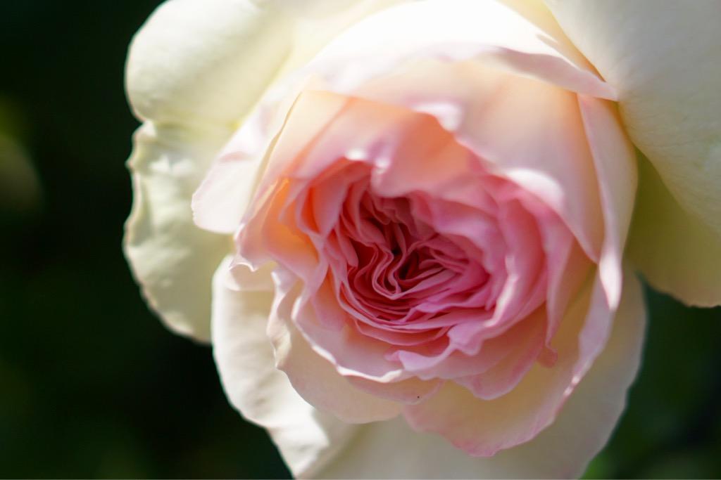 バラが満開でした。