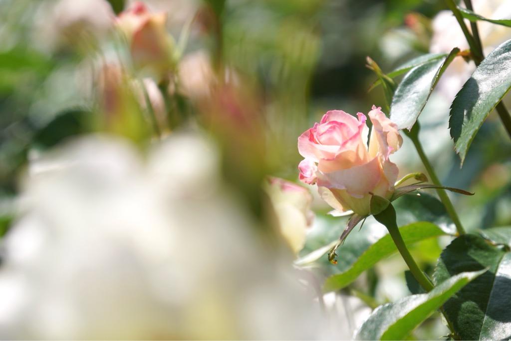 ピンクが可愛いバラ。
