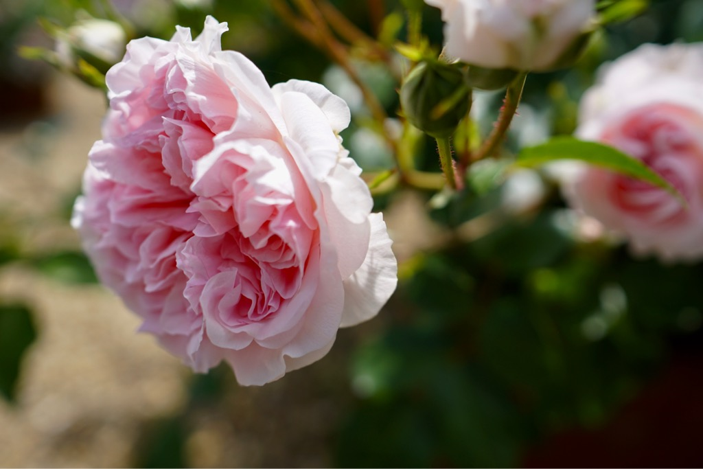 花びらの多いのは華やかですね。