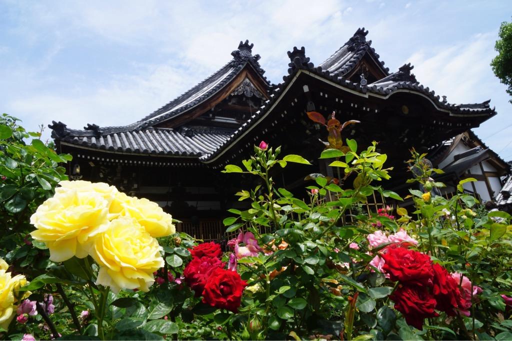 本堂の周りはバラでいっぱい。