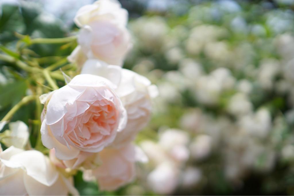 濃い薔薇は見ごろを過ぎているのが多かったですが、白がとても綺麗でした。