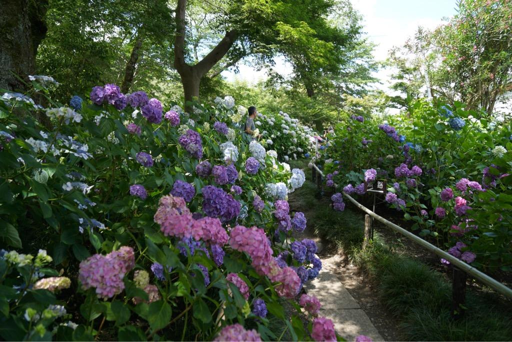 境内いっぱいの紫陽花。