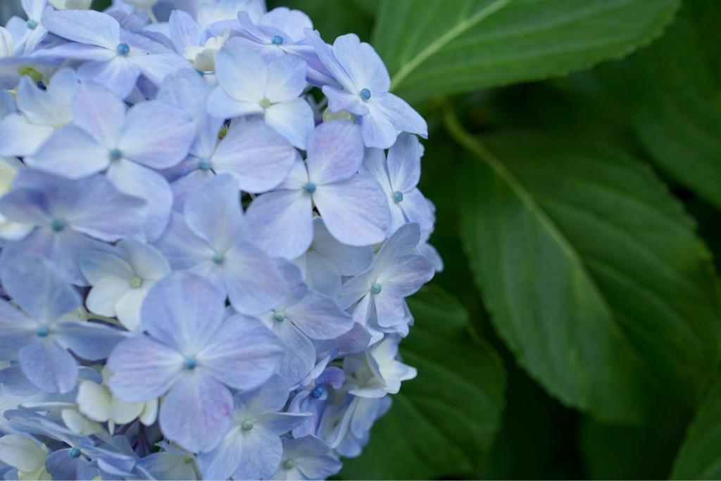 紫陽花の葉もとても雰囲気がある濃い色合いです。