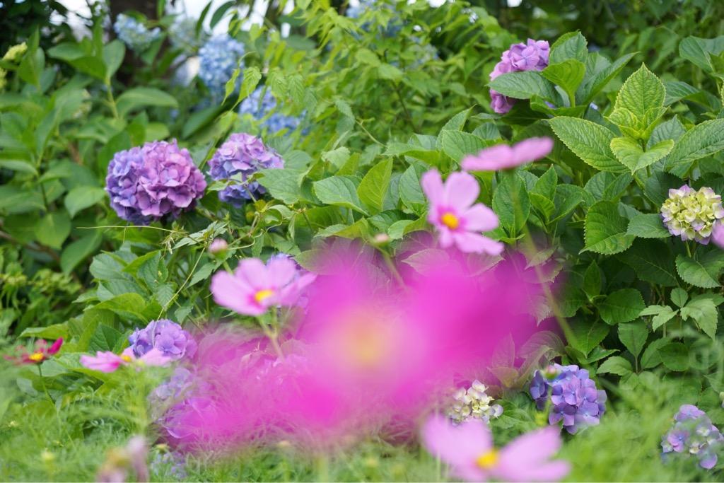紫陽花とコスモスを一度に見れるのは珍しですね。