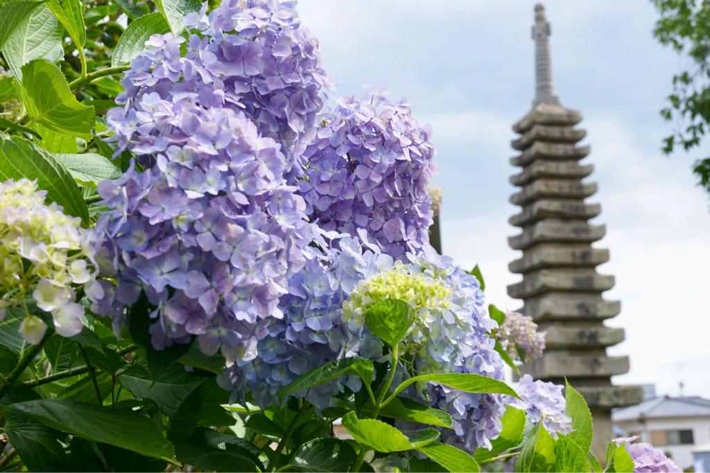淡い色の紫陽花が多いです。