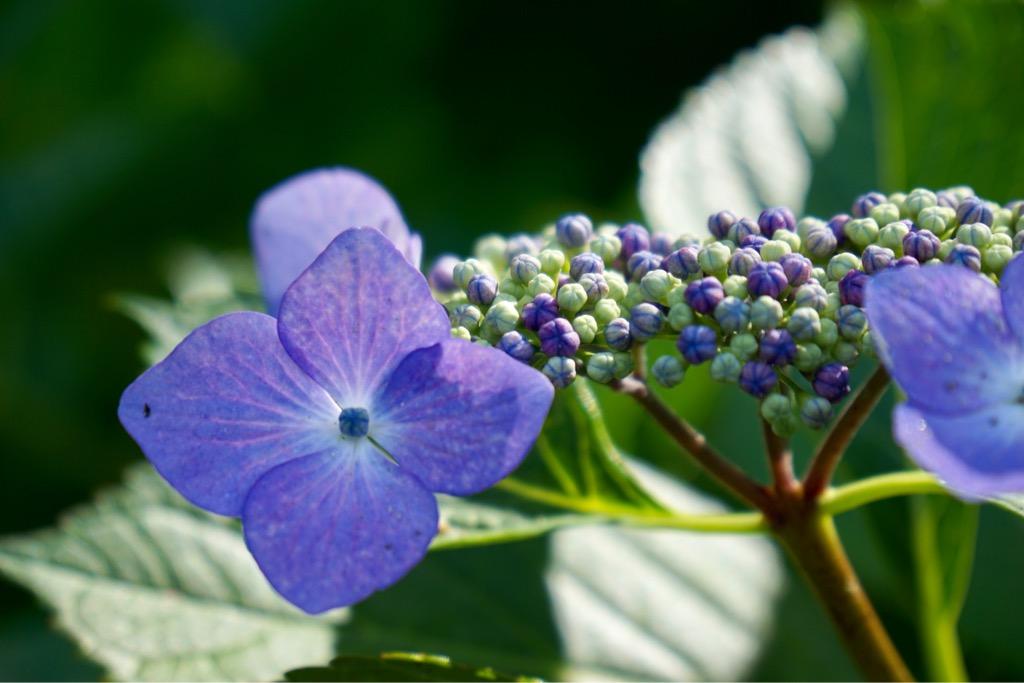 紫陽花のお寺として有名ですが、地元の人が訪れるくらいなのでとてものんびりしています。