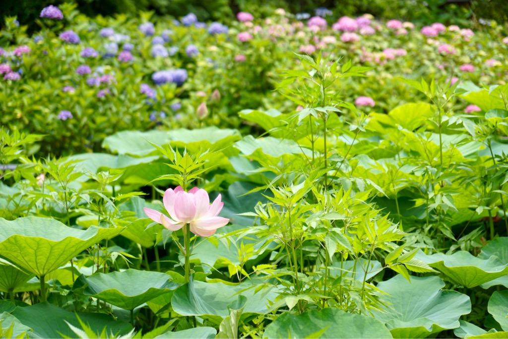 一輪だけ蓮の花が。蓮池の周りに紫陽花が咲いています。