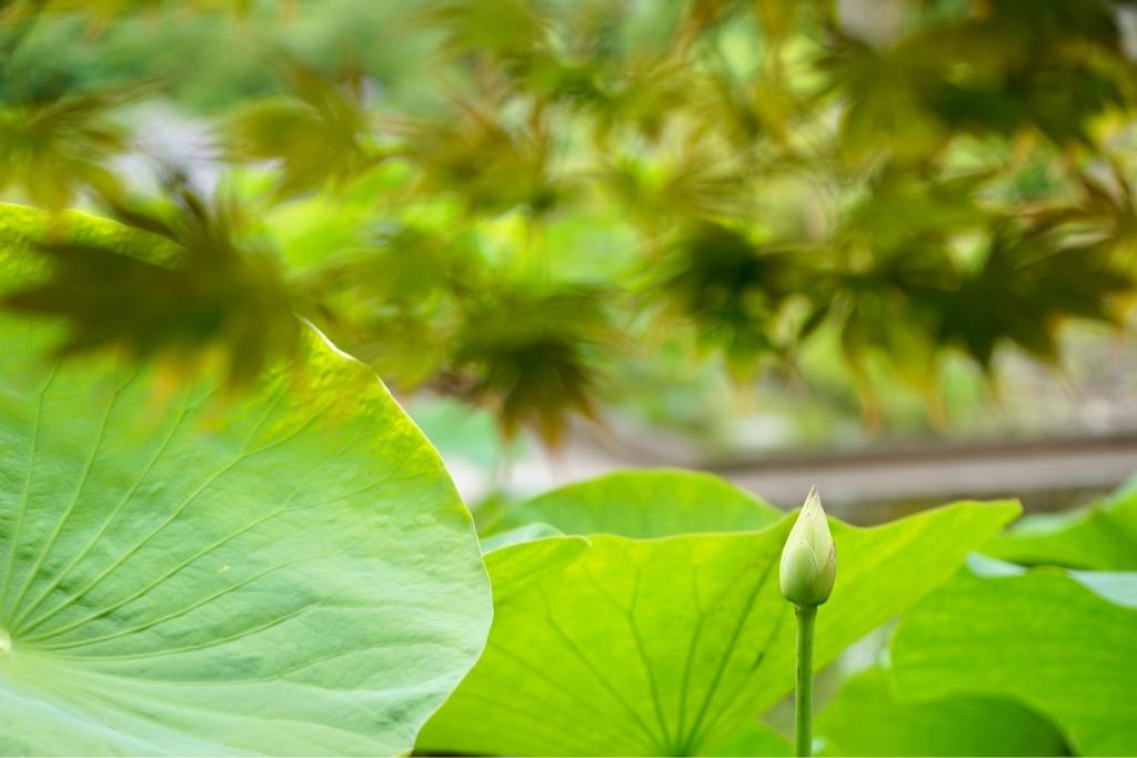 蓮のつぼみも増えてきて葉も大きく育って綺麗です。上にはもみじが。
