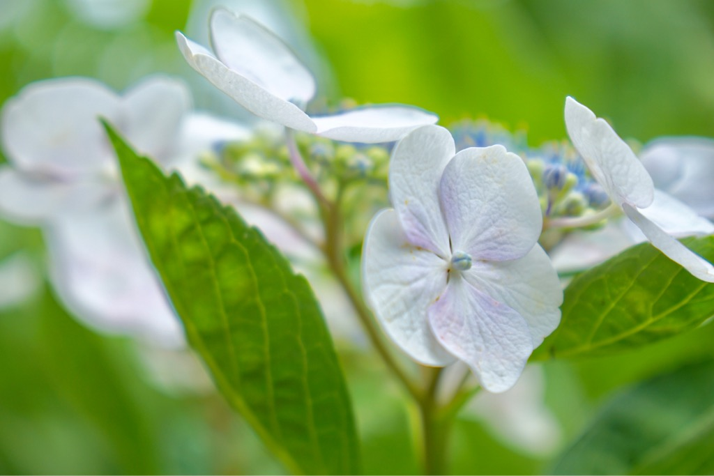 白い紫陽花も素敵ですね。