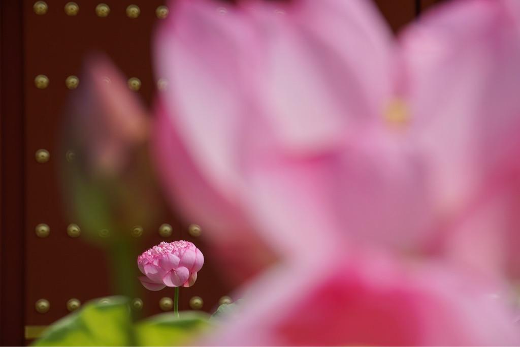 立派な蓮の花が多くて素晴らしいです。