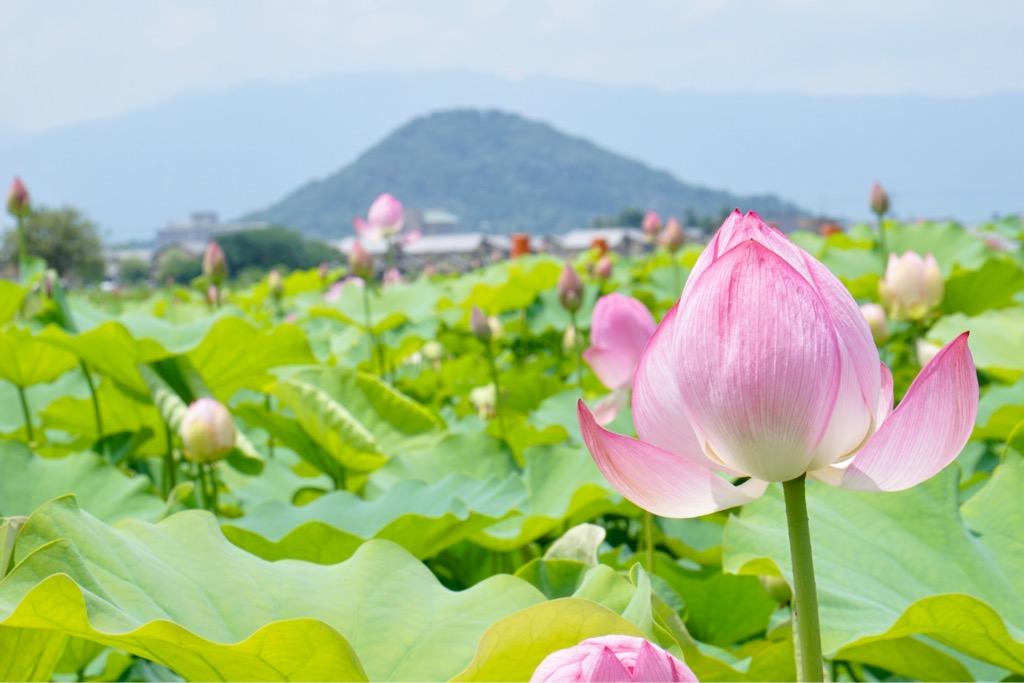 畝傍山を背景にたくさんの蓮の花が咲き乱れています。