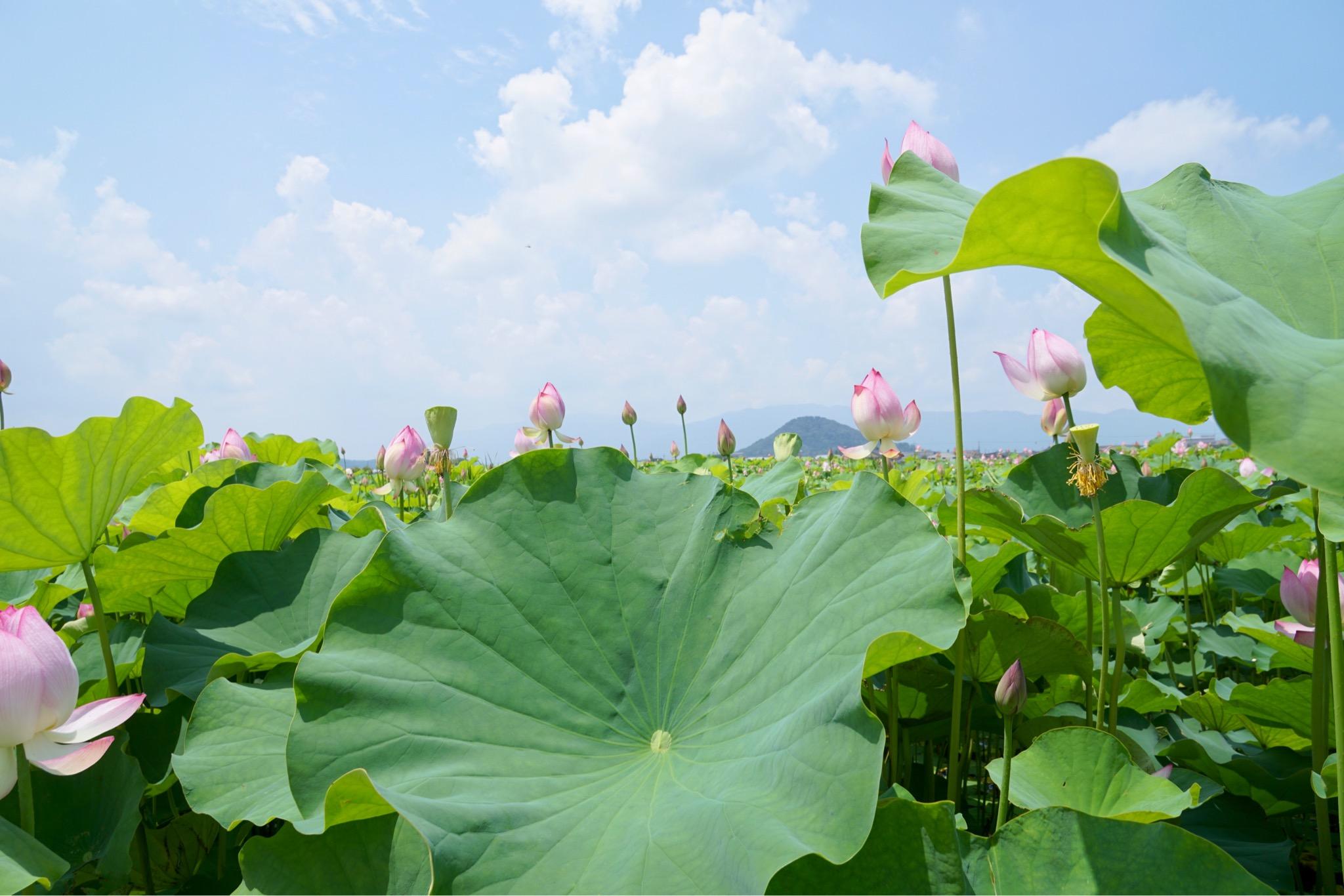 今年は2面ある蓮池のうち1面は葉が大きく茂ってとても立派でした。