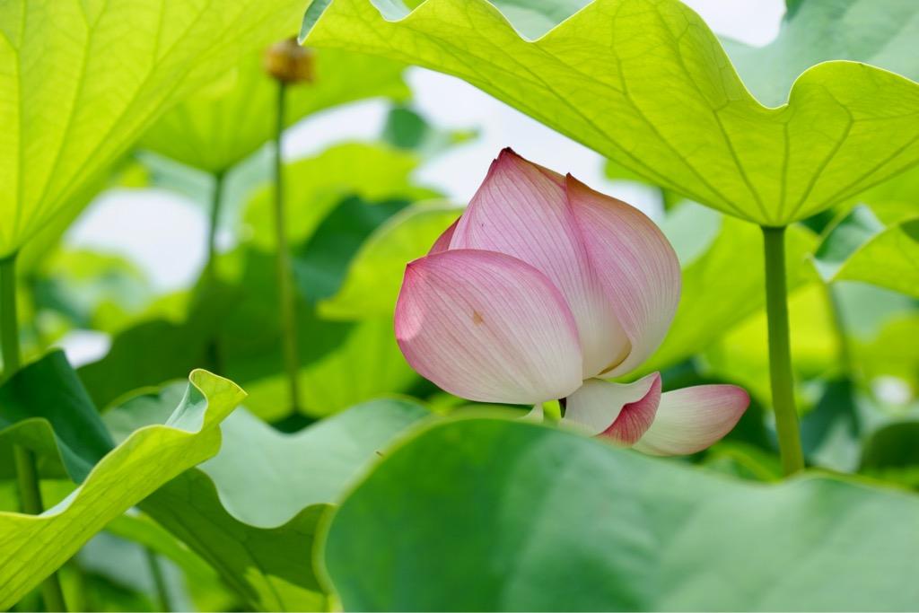 大きな葉も蓮の花の魅力ですね。