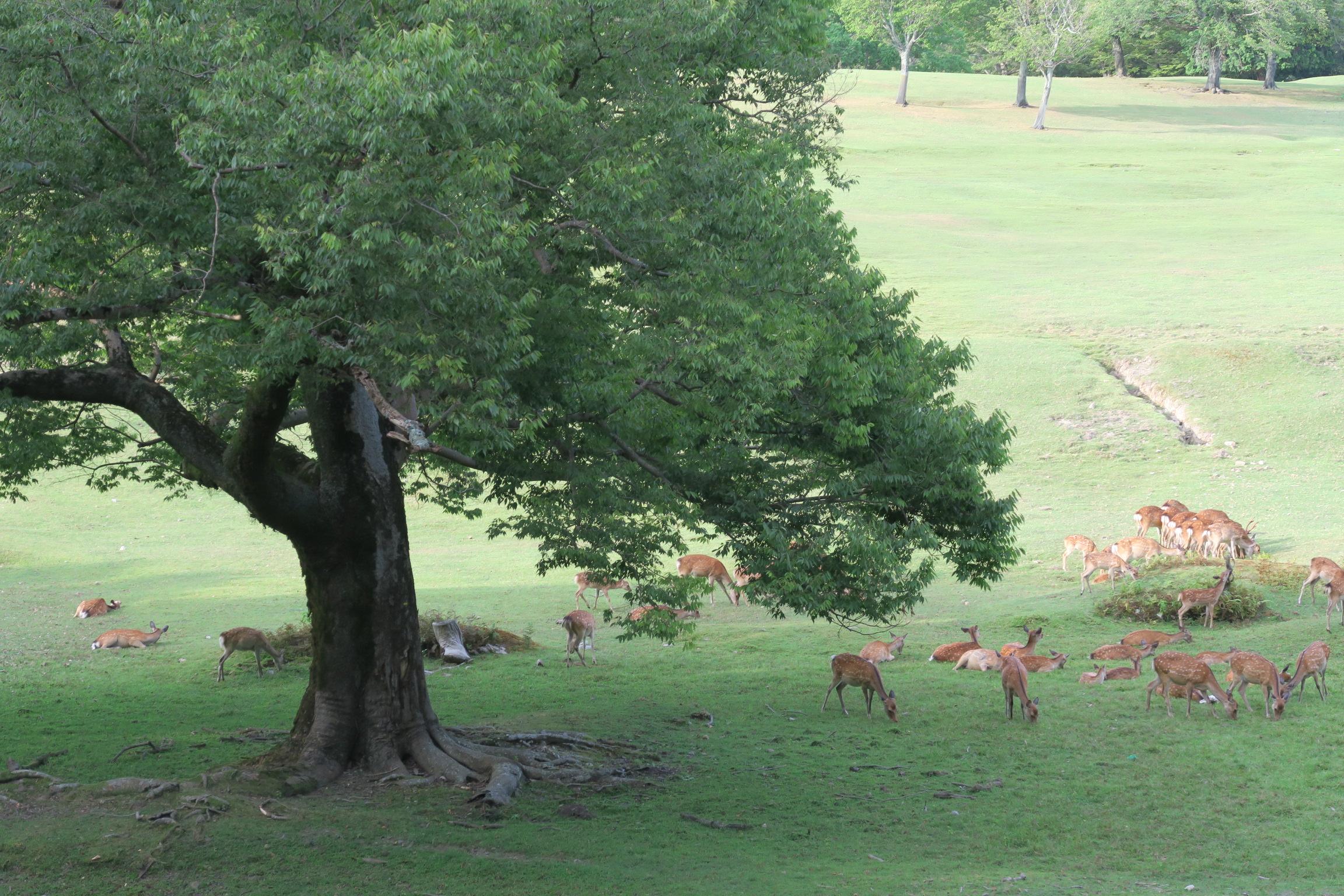 高畑観光駐車場から1分の所。 シカが木陰で草を食んでました。