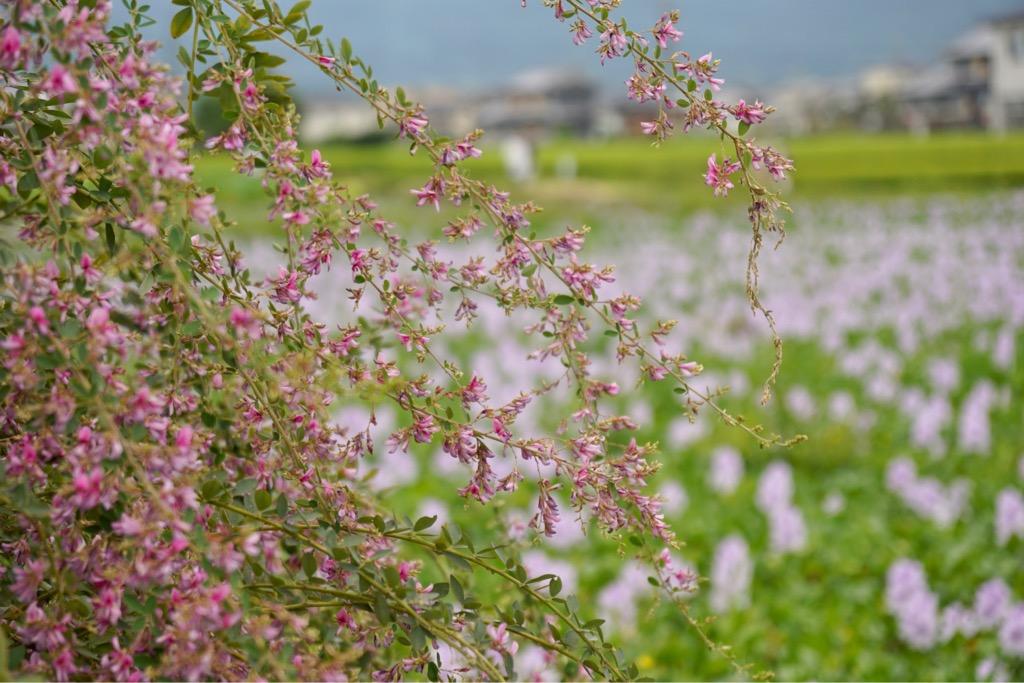 萩の花も見頃を迎えていました。