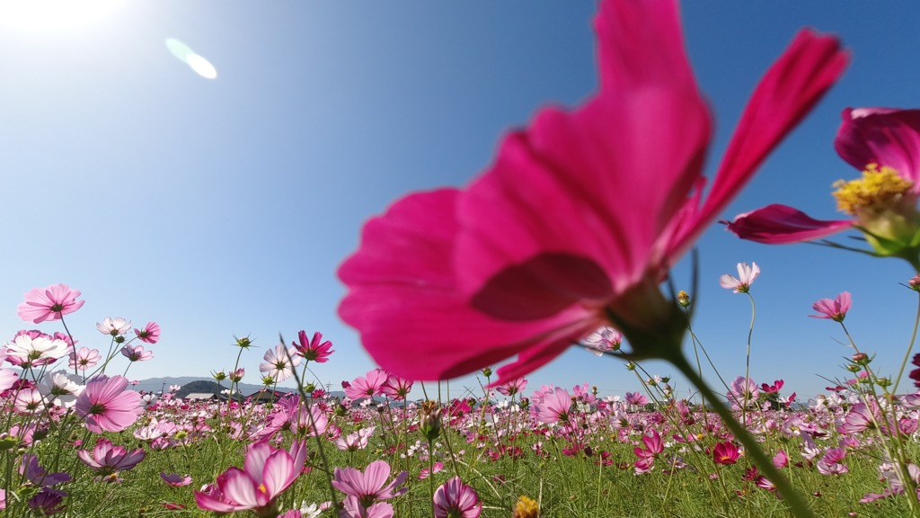 密集して咲いているのでとても迫力あります。
