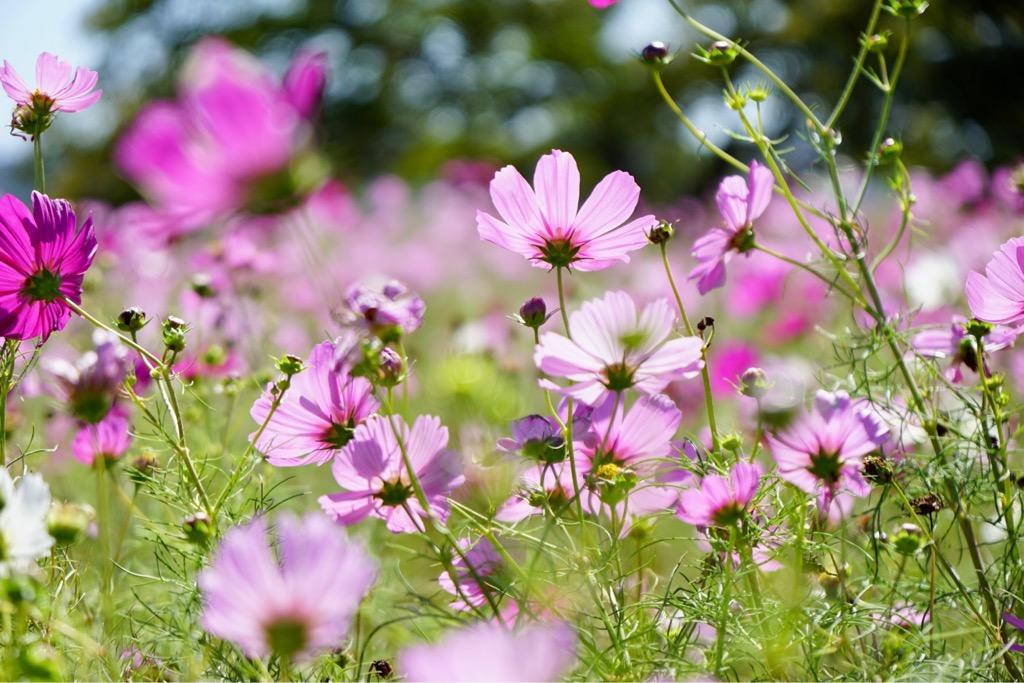 コスモスも何面にもわたって咲いているので華やかです。
