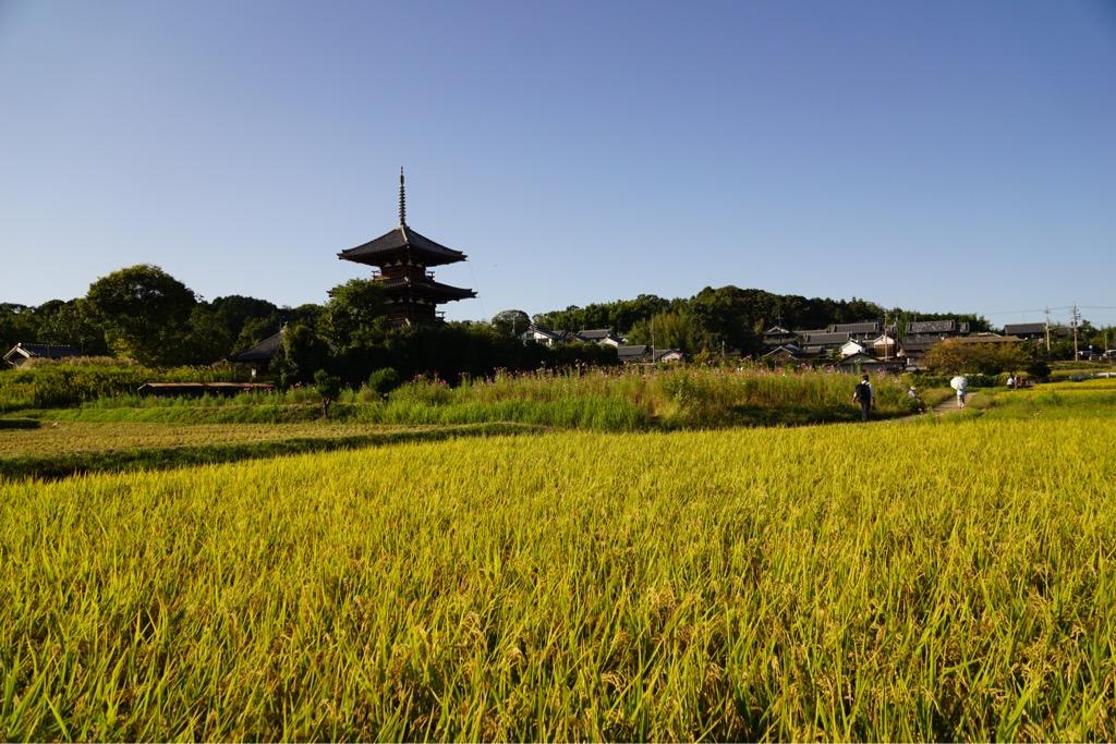 稲刈りが始まっていましたが稲と三重塔がとてもきれいでした。