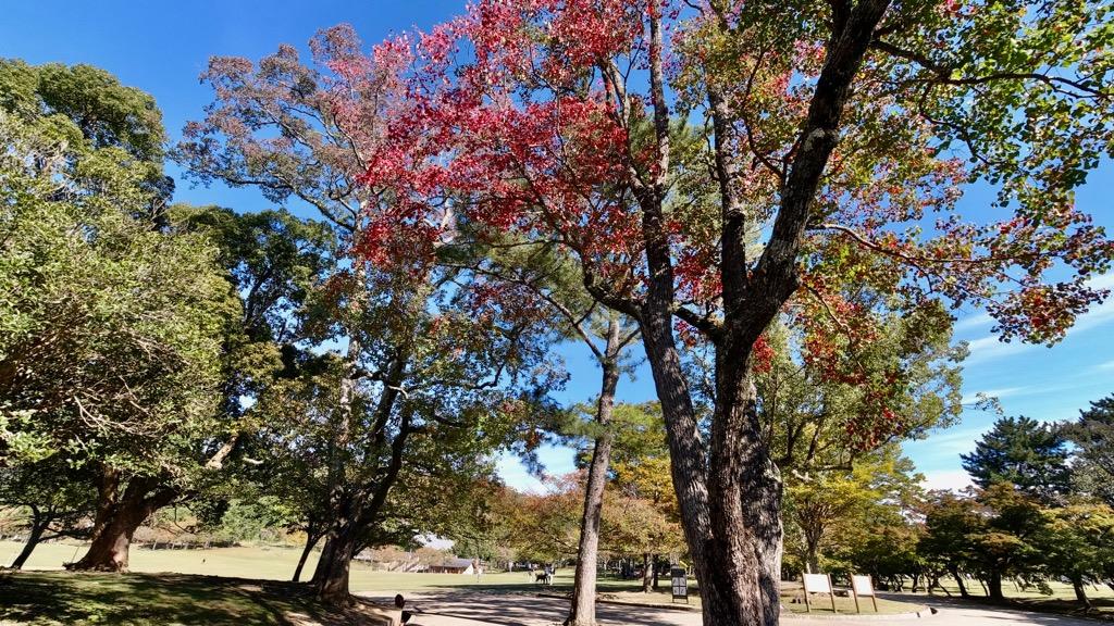 奈良公園へ。紅葉が始まっていてとてもきれいです。