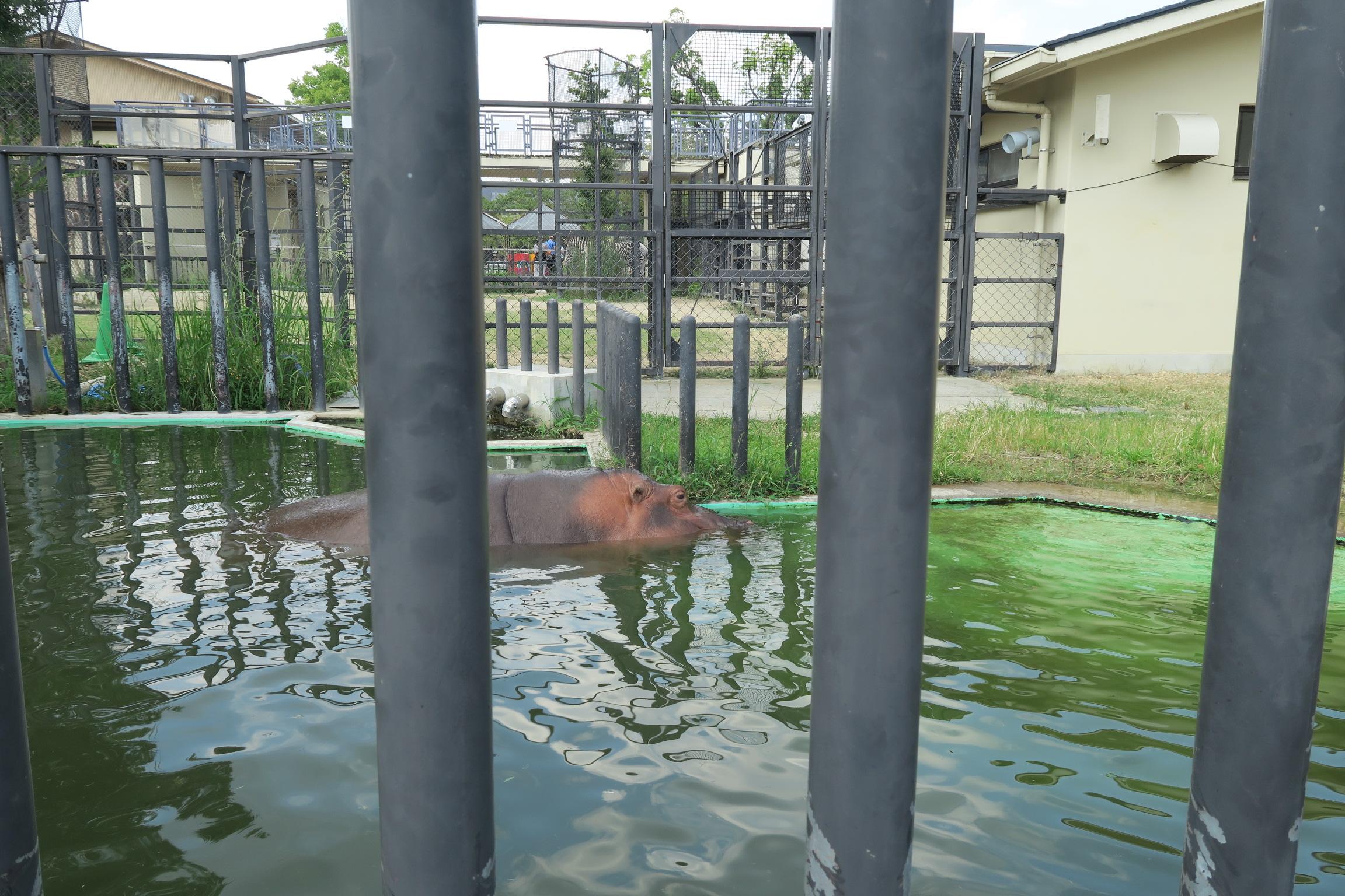 こちらはかば。暑いので、水の中にいました。