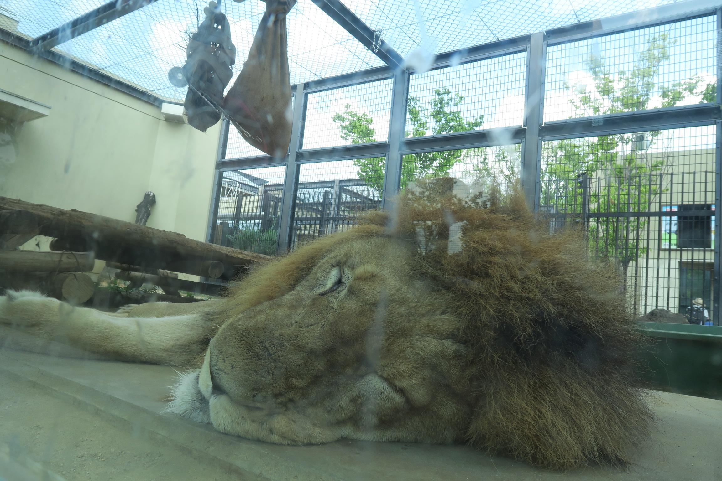 入場すると、最初に猛獣ワールドがあります。ライオンは朝寝?していました。間近で見られてラッキーです。