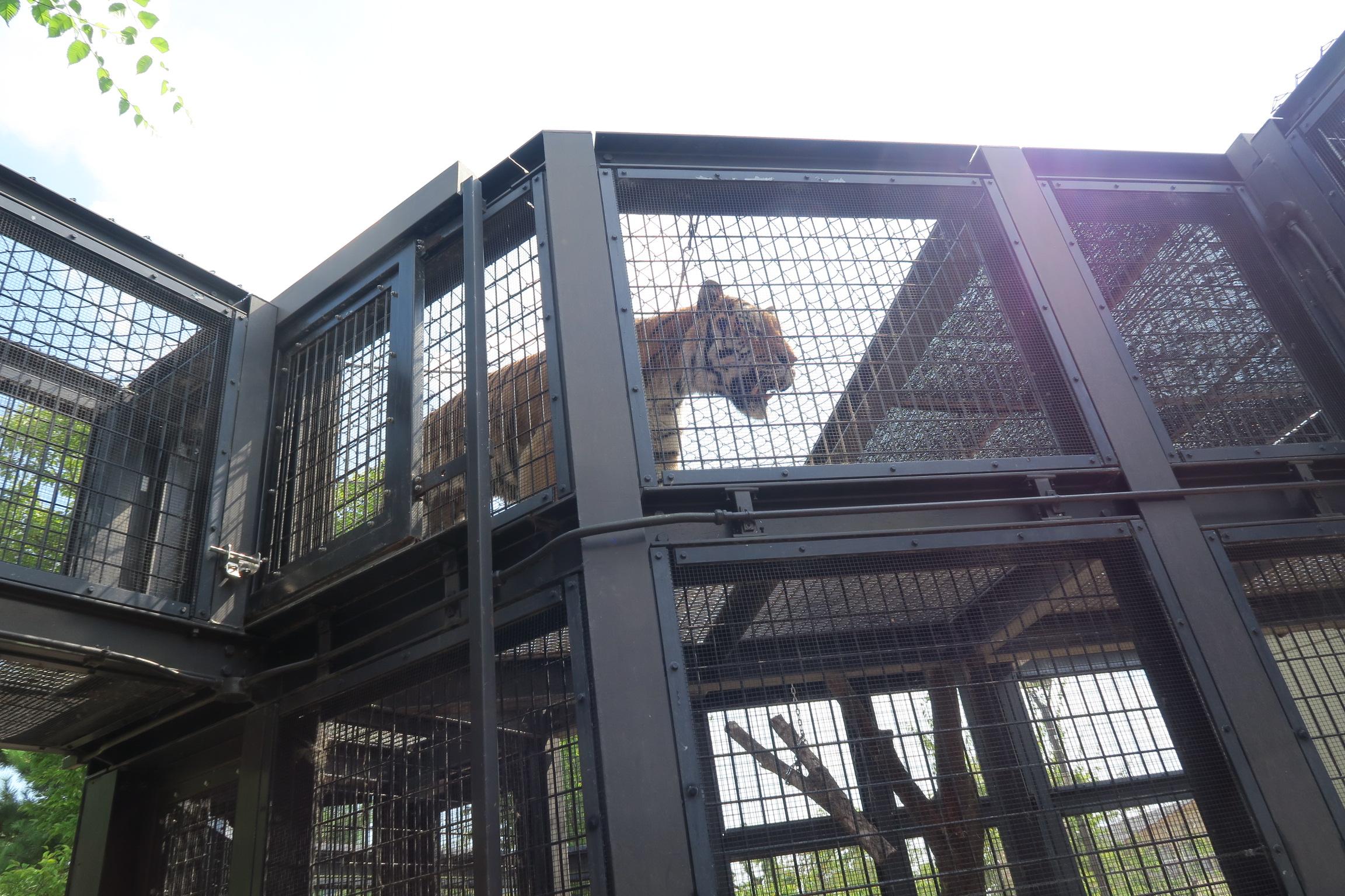 お隣は、トラが数匹いました。ちょうど、餌やりの時間で、鶏をガツガツ食べる様子が見られました。
