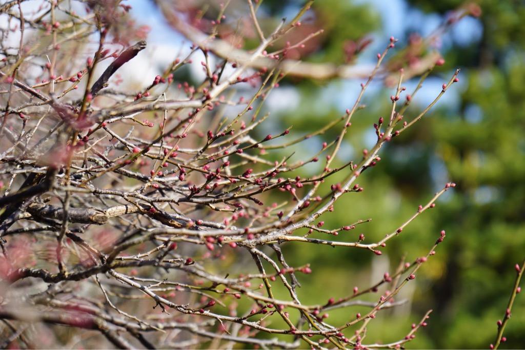 梅の蕾が綻び始めています。春が待ち遠しいですね。