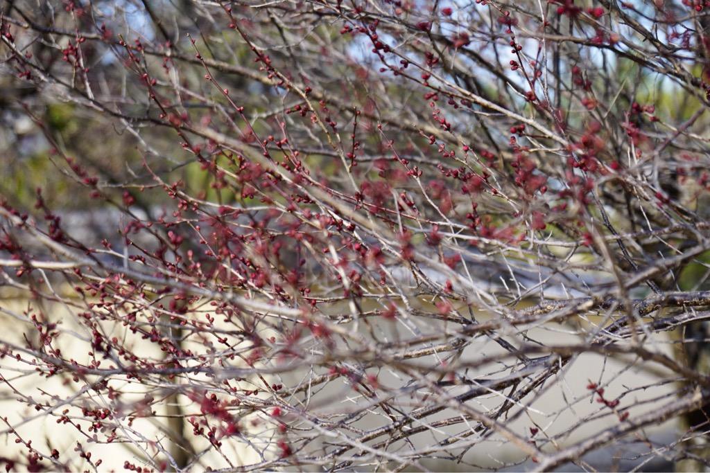 赤い蕾なので濃く見えて遠くからでも一瞬花開いているように見えました。