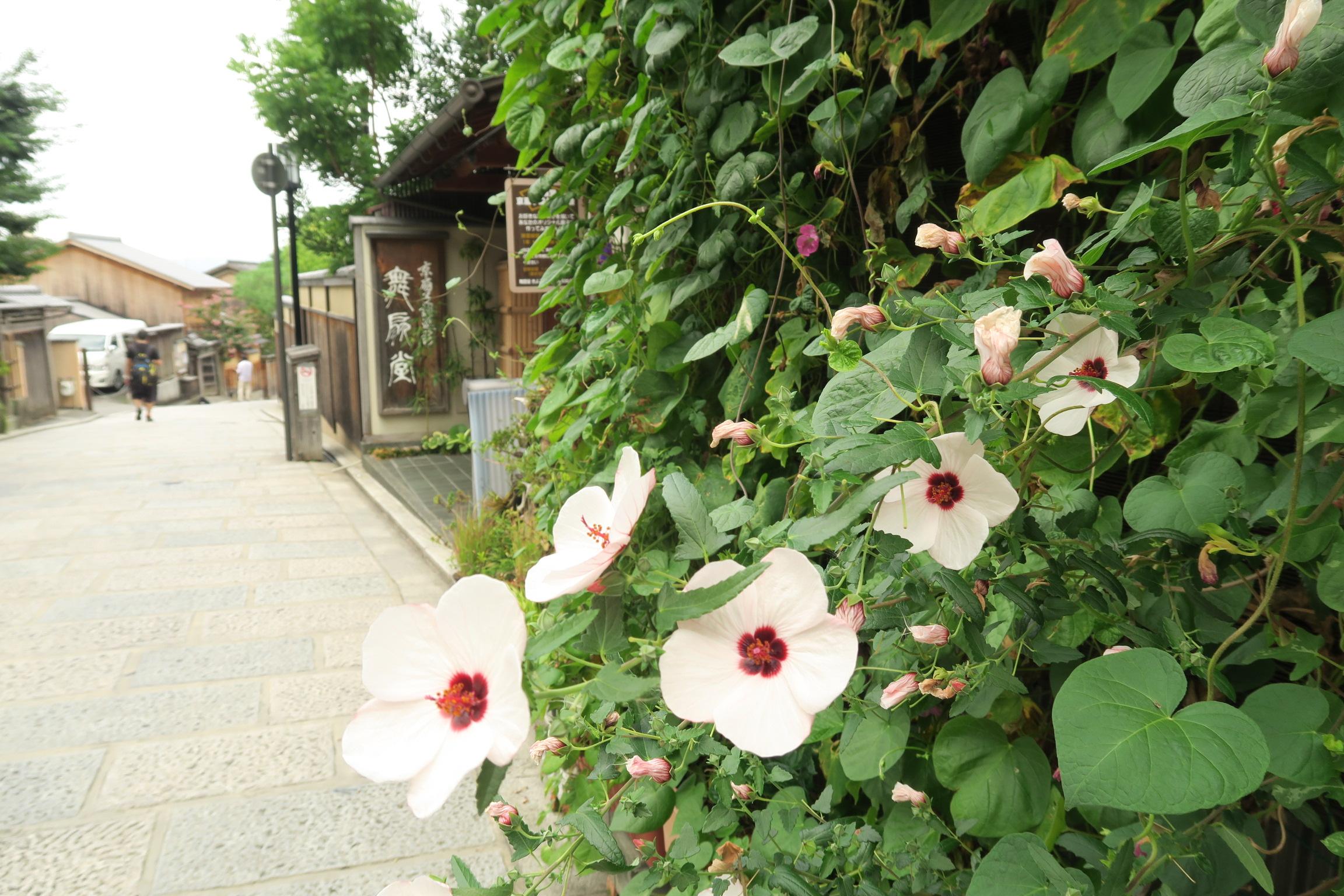 玄関先の咲く芙蓉の花。暑さをしのぐ緑のカーテンもありました。
