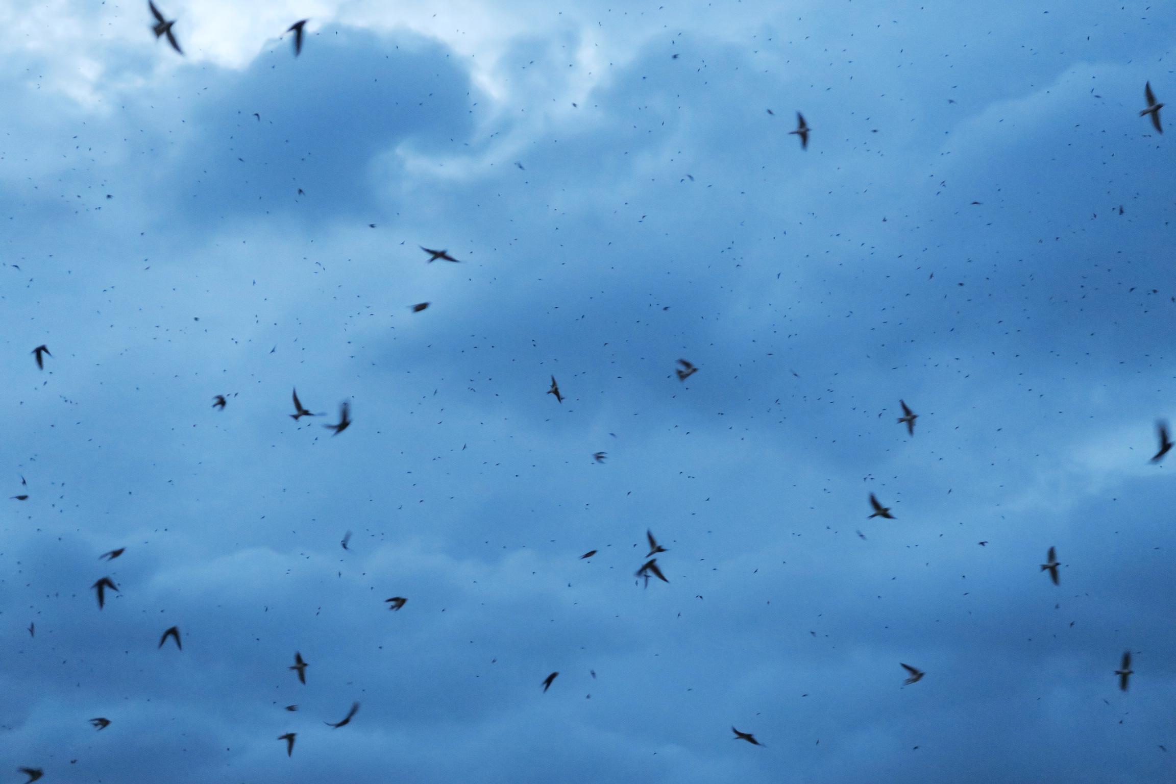 敷地内に、つばめのねぐらがあって、 つばめの物凄い大群が、空を舞っていました。