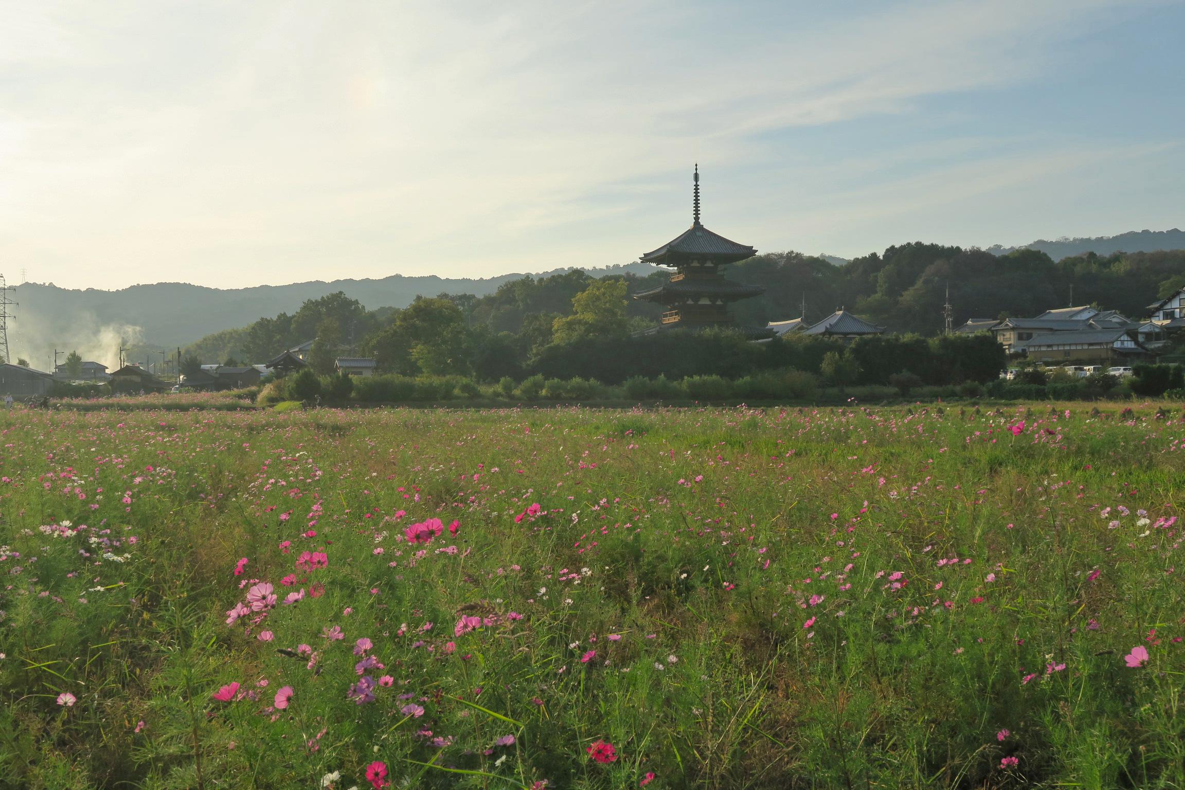 夕方は法起寺のコスモス撮影に行ってきました。