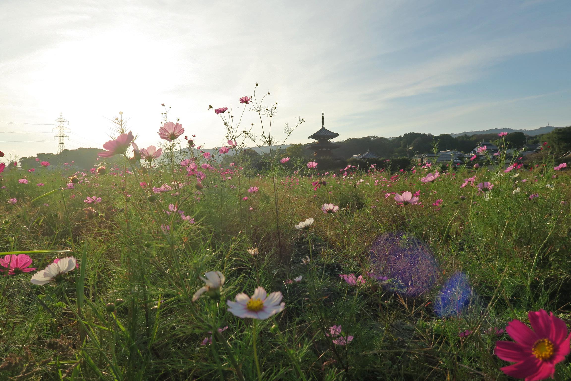 田んぼへの立ち入りを注意している地元の方が、今年は花が少ないと言ってました。