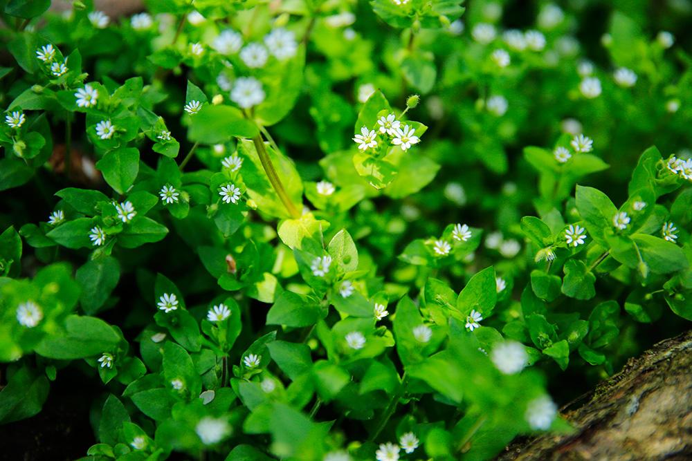 ハコベの花。春の七草のひとつです。