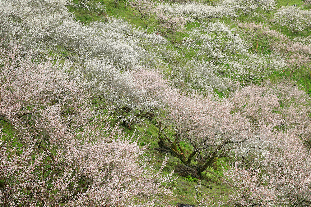 ほのかな香りが漂っています。少しでも早く春を感じたい方はぜひ賀名生梅林へどうぞ!