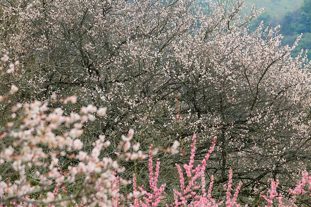 山の斜面にびっしりと梅の花が咲いています。
