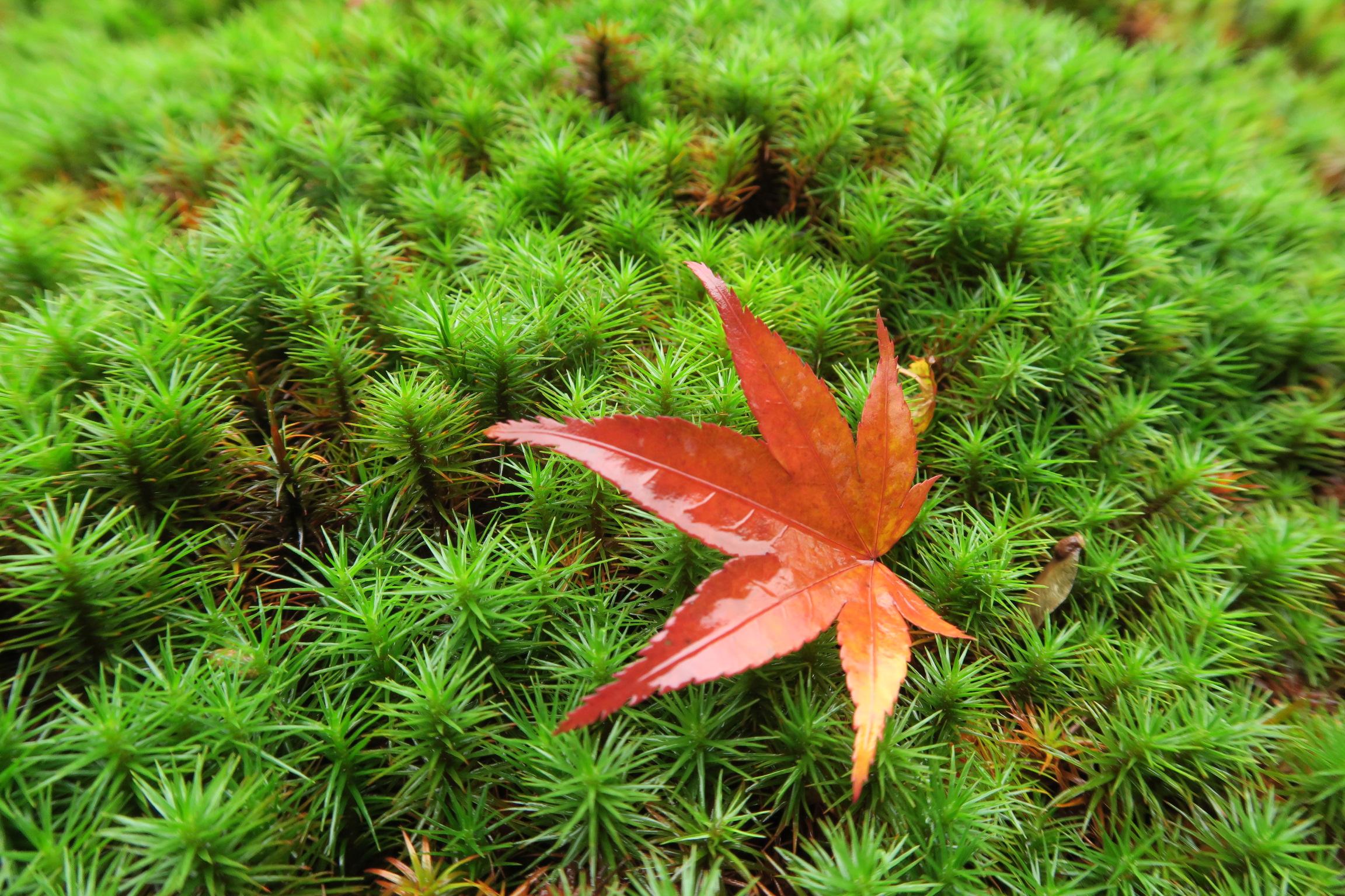 モミジの葉も雨にぬれ艶やかです。