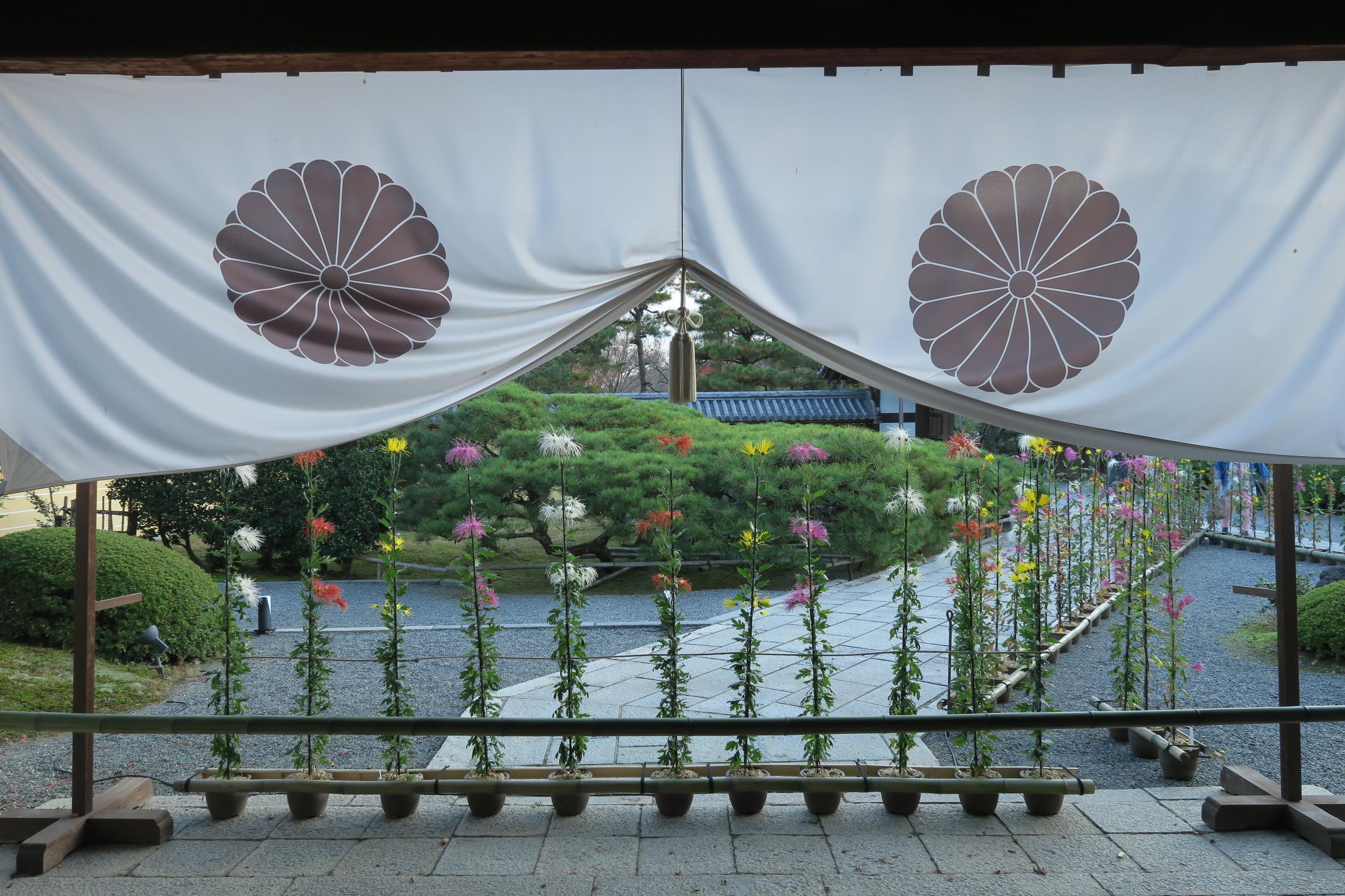 嵯峨菊が美しいですね。