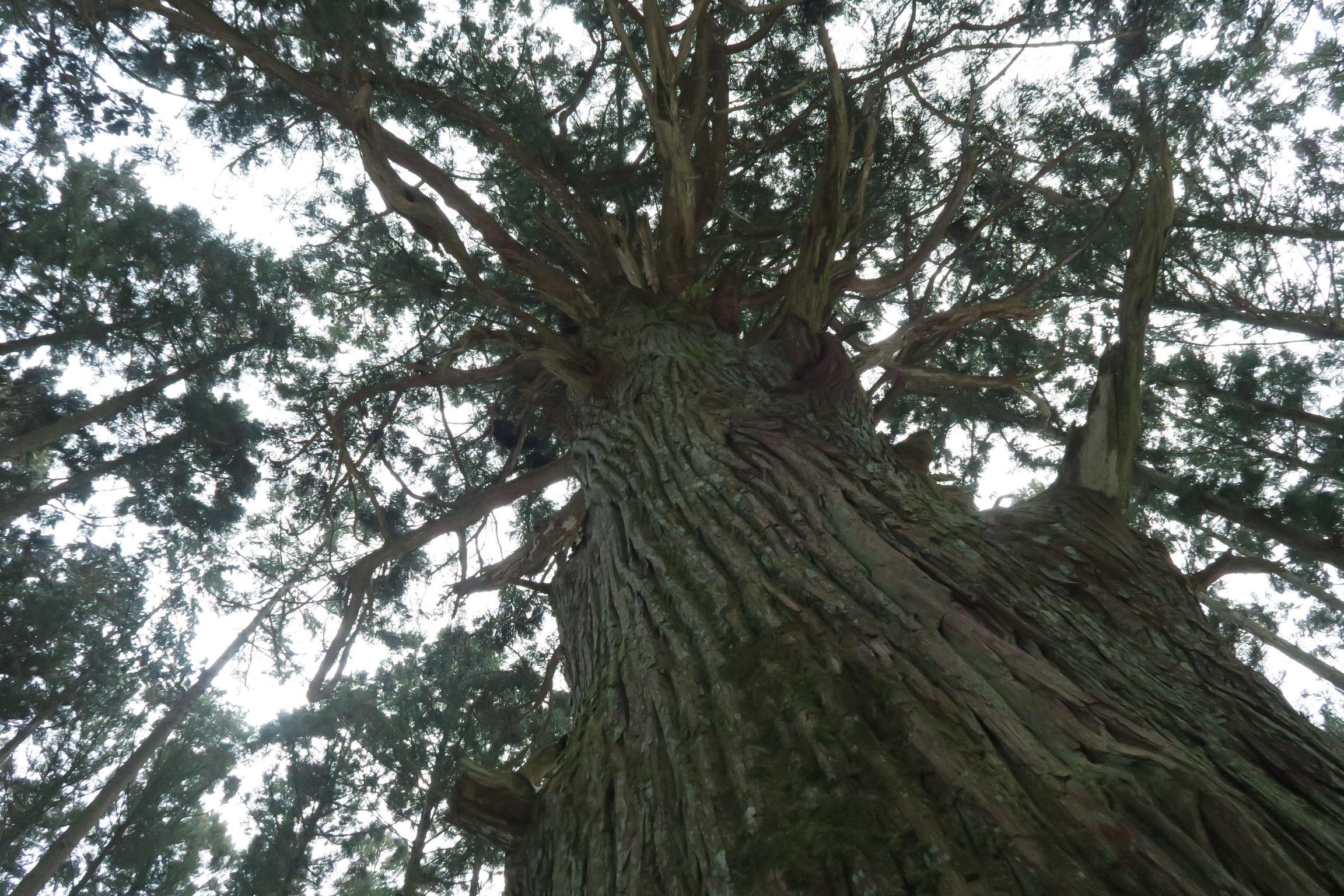 周辺の木と比べても立派な木(高見杉)です。たかすみ温泉から40~50分位の所にあります。