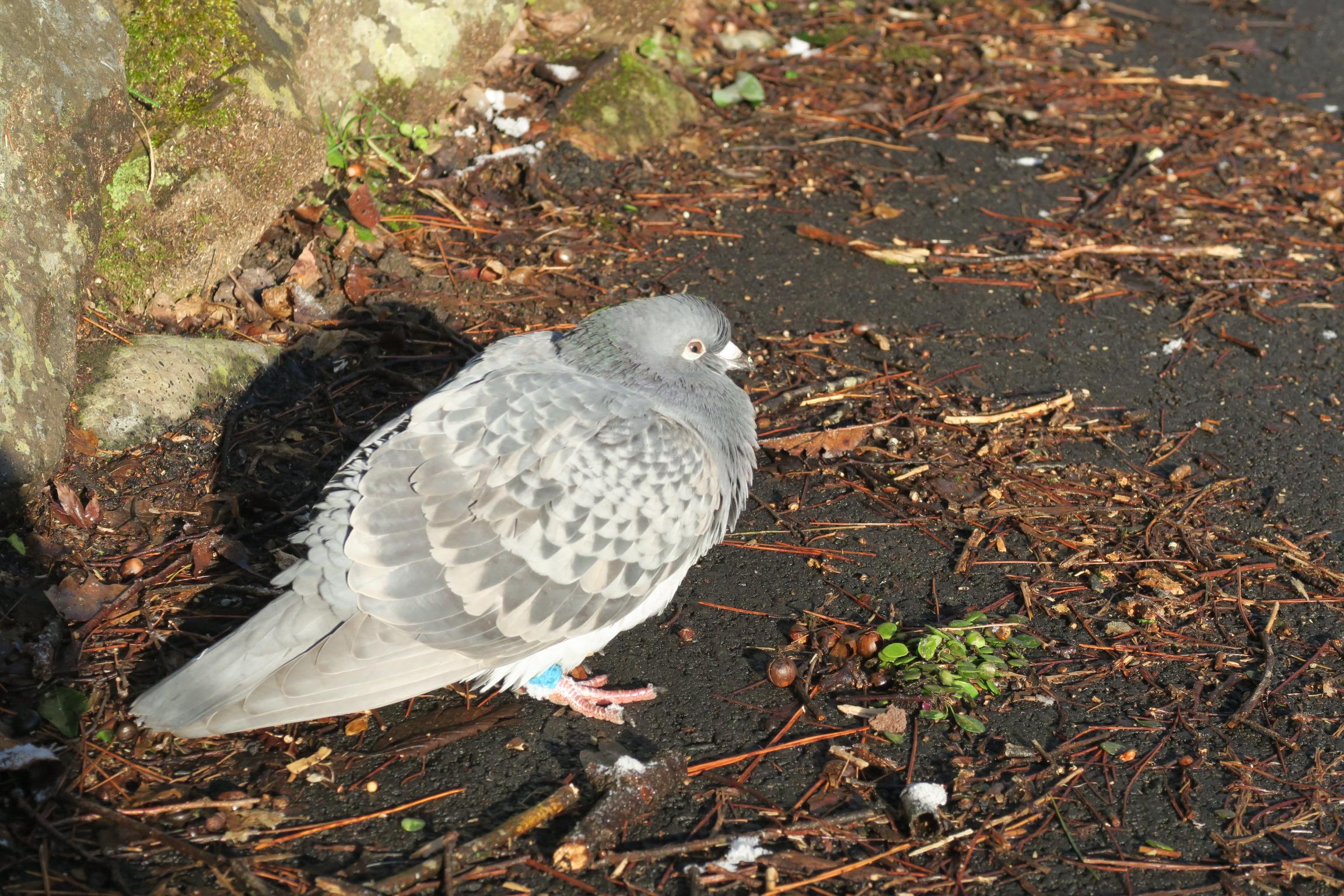 青い足輪が見えますね。迷い鳩かなぁ?保護してみようとしましたが、ダメでした。。。