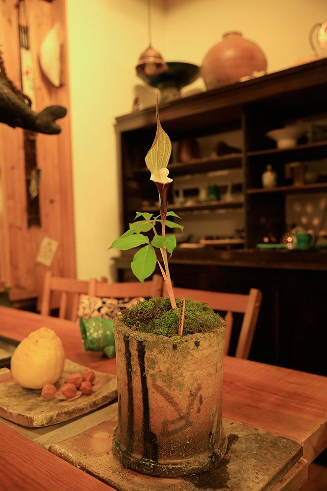 絶滅危惧種の「ユキモチソウ」です。「小陶苑」のご主人のご厚意で写真を撮らせていただきました。