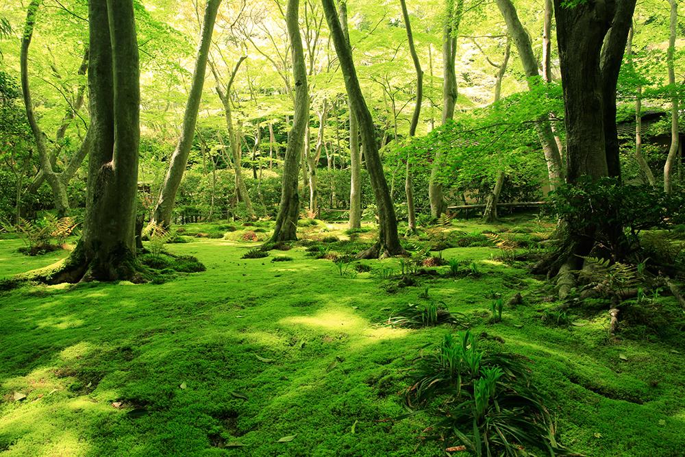 画家・東山魁夷氏が描いた作品「行く春」は祇王寺の苔庭です。私は東山魁夷氏の「秋翳」が大好きです。