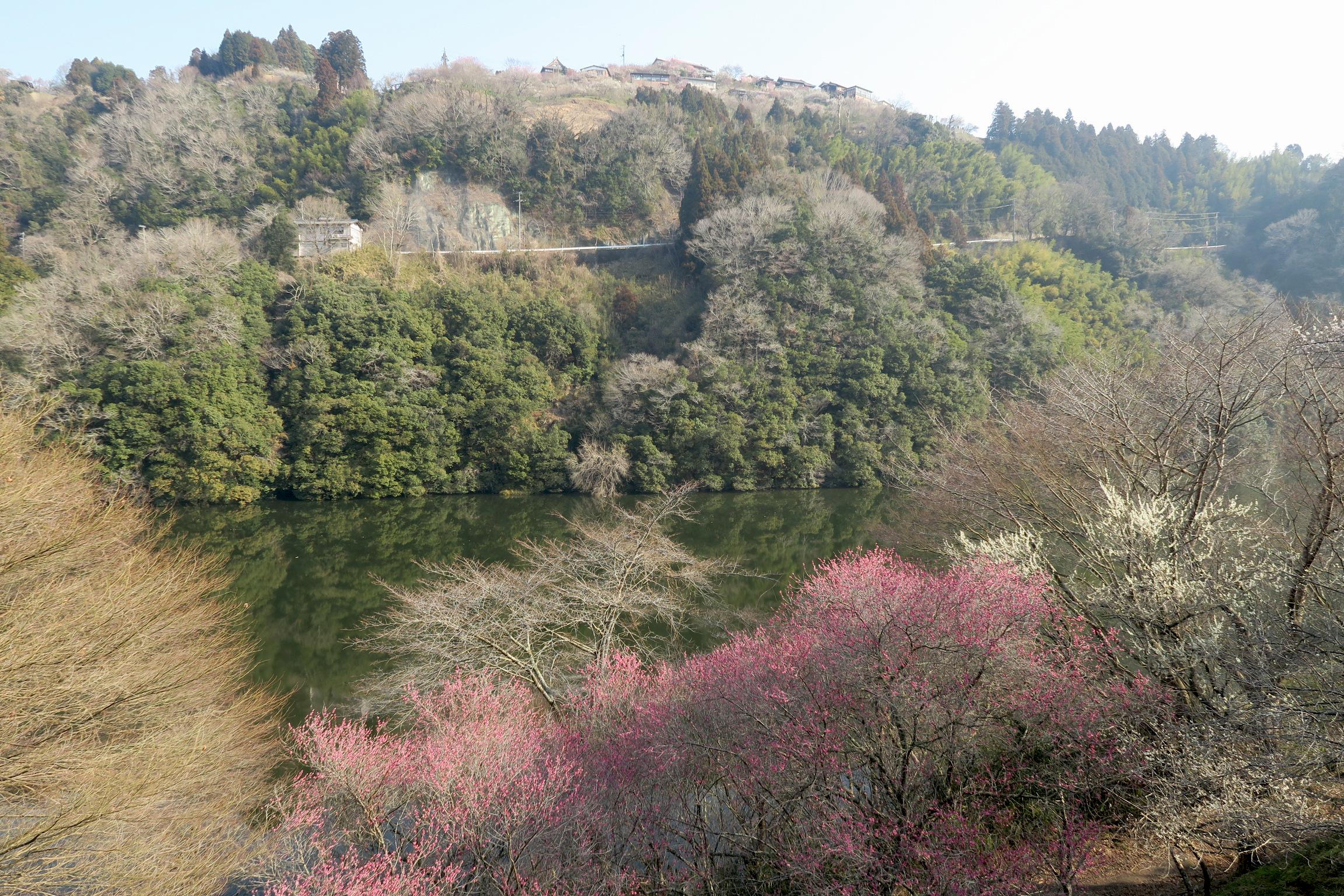 梅が満開でした。写真上部が梅まつりが開催されている月ヶ瀬梅林。これから向かいます。