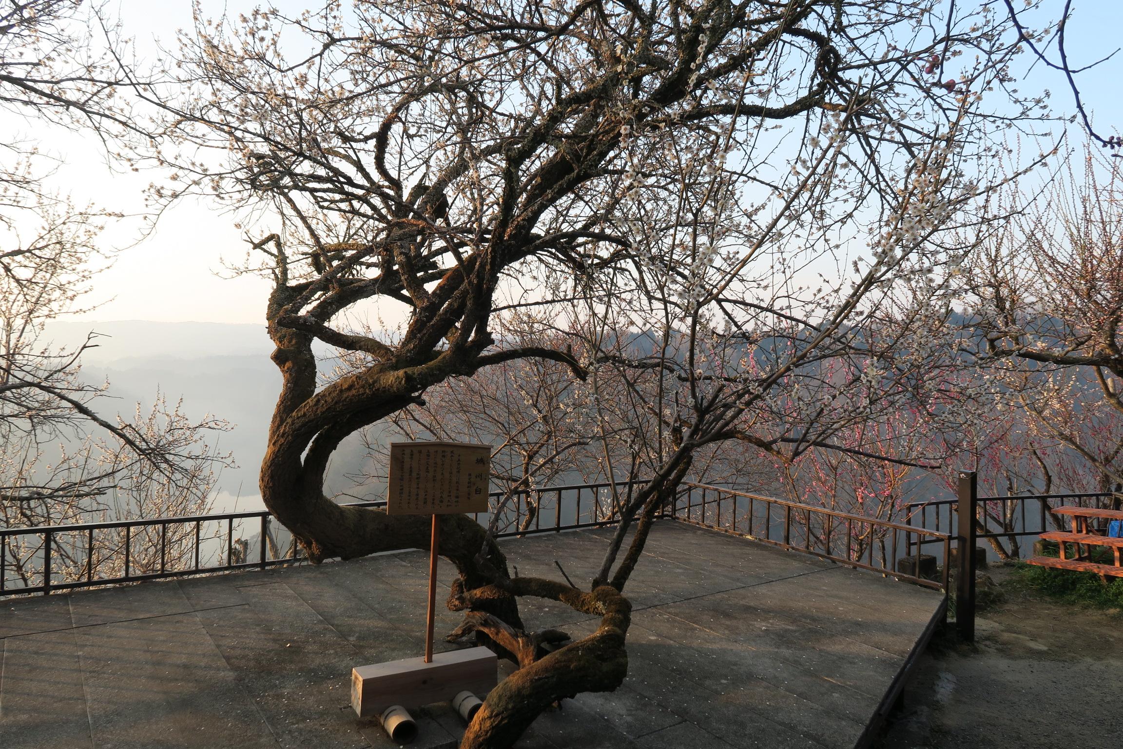 江戸後期に植えられたもので樹齢二百年だそうです。