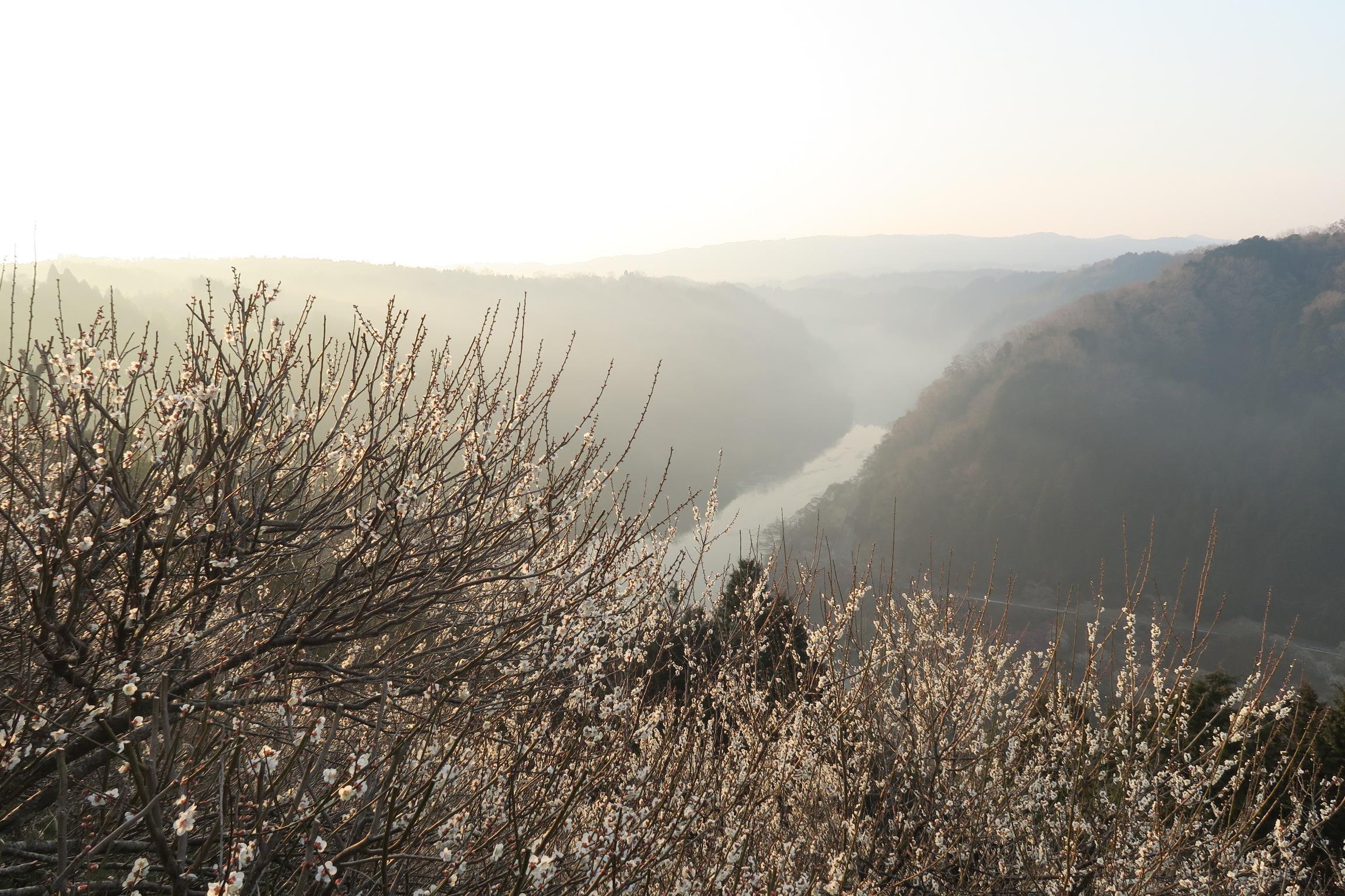 角度を変えての梅と五月川(名張川)。