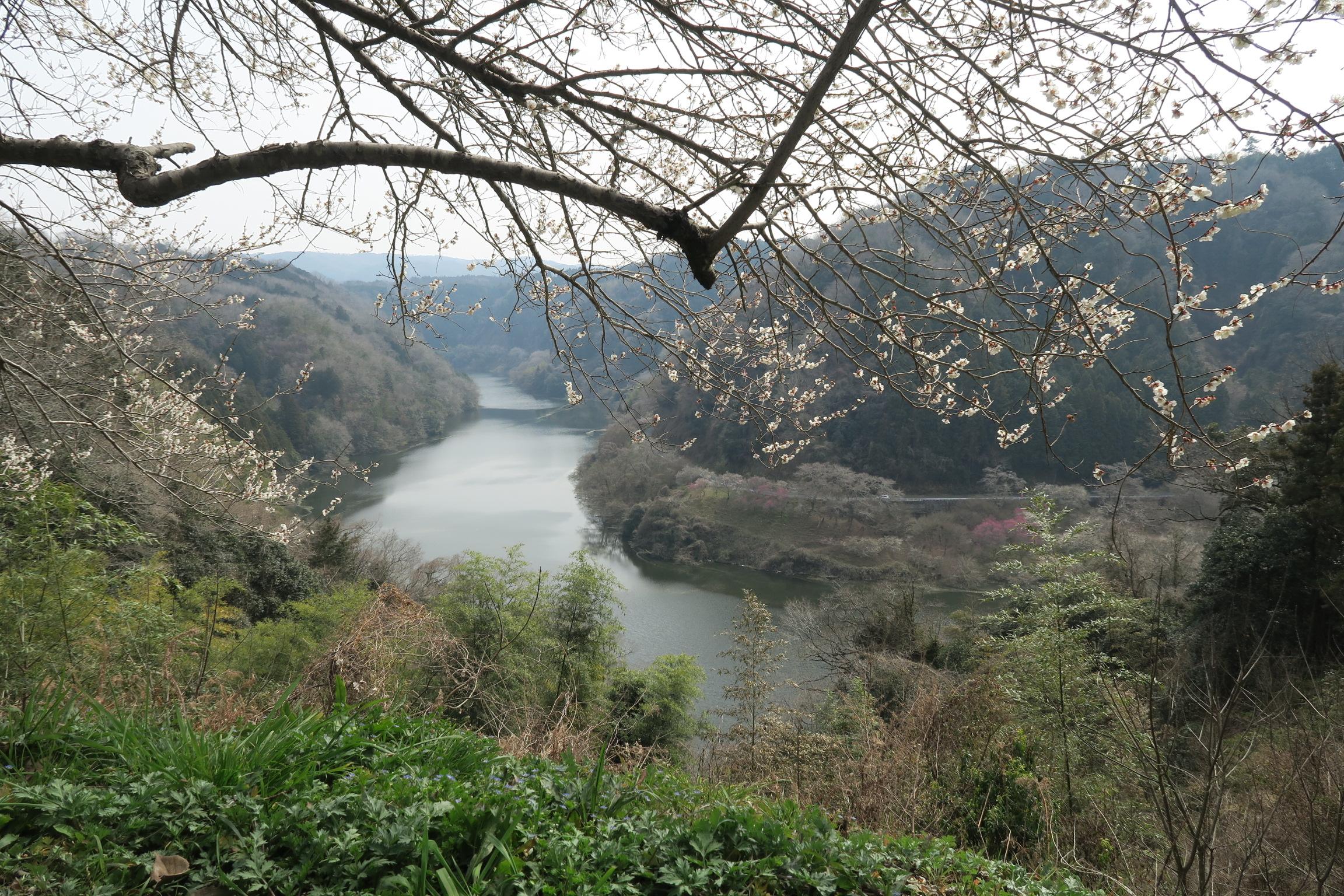 梅と五月川。県道82号は景色が楽しめます。