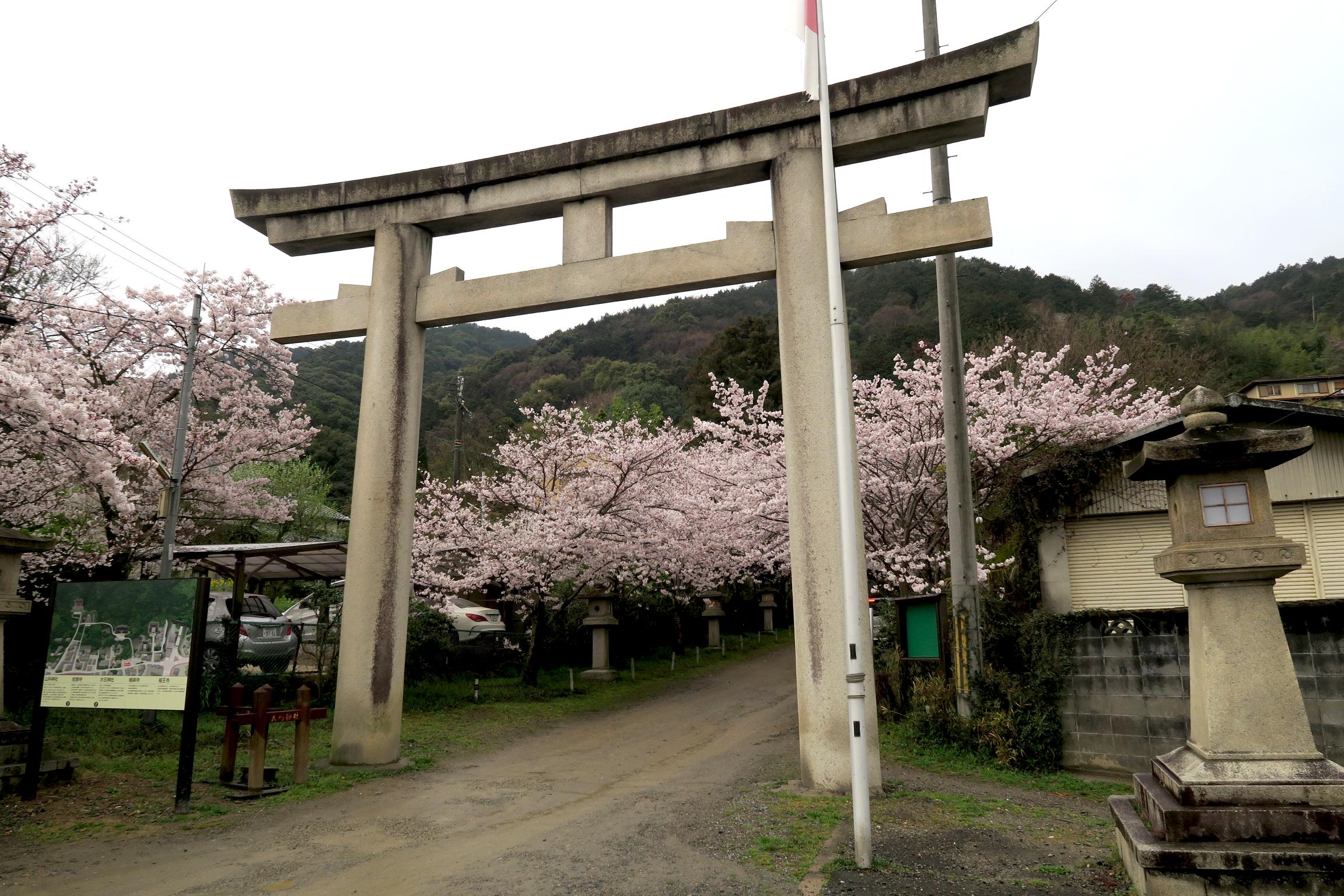 夕方に京都市山科区にある大石神社を訪れてみました。桜は満開!