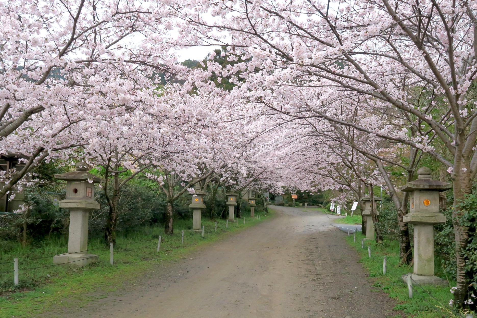 桜トンネルも見事です。大石内蔵助ら四十七士を慕う人たちが建てた神社だけに想いが伝わってきますね。