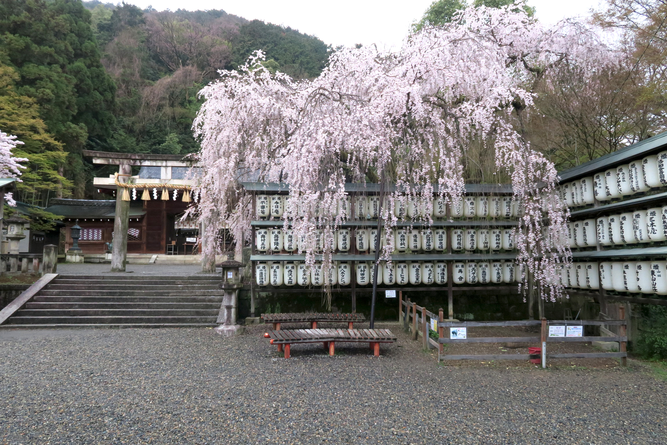 大石桜も見事ですね!